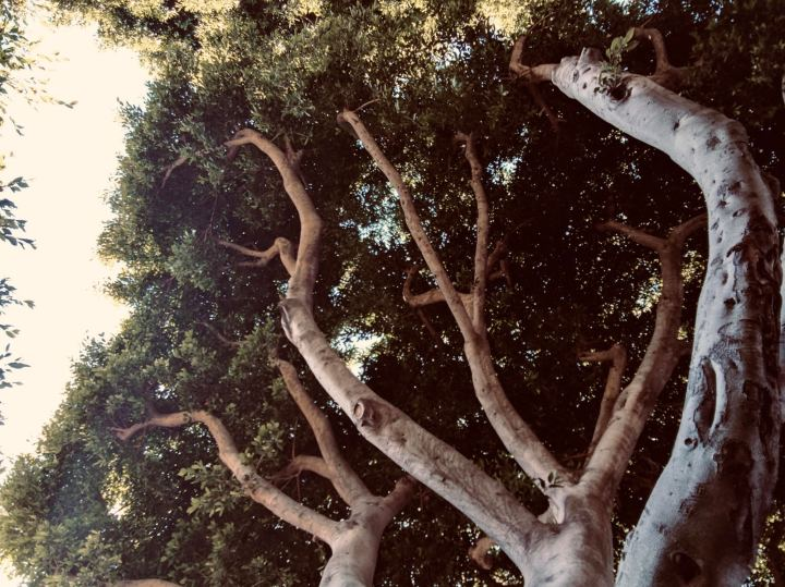 SantaMonicaTrees